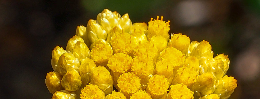Picture of Helichrysum stoechas, the source of the new moisturizer